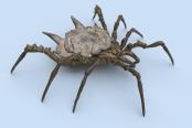 Shield Spider by Corella
